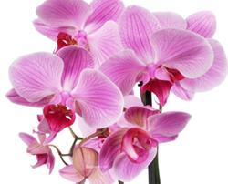 Orchidées Phalaenopsis