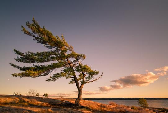 arbre-incline-par-le-vent